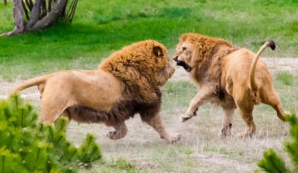 """Фото: Сафари-парк львов """"Тайган"""""""