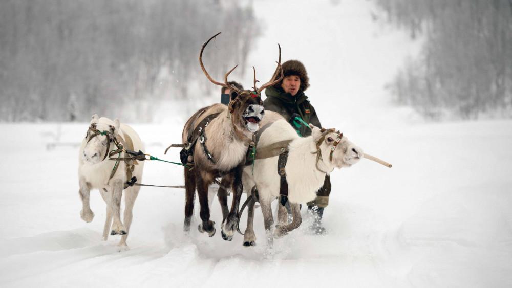 Фото: Катание с северными оленями или хаски