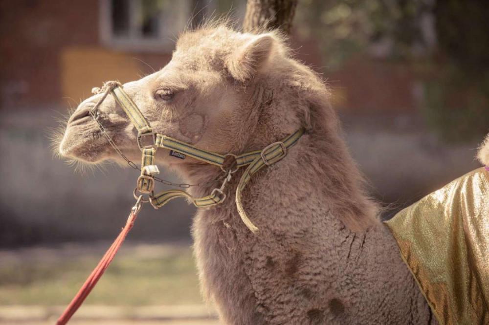 Фото: Катание на верблюде