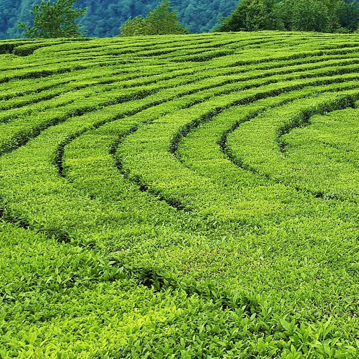 Фото: Чайные плантации и Змейковские водопады