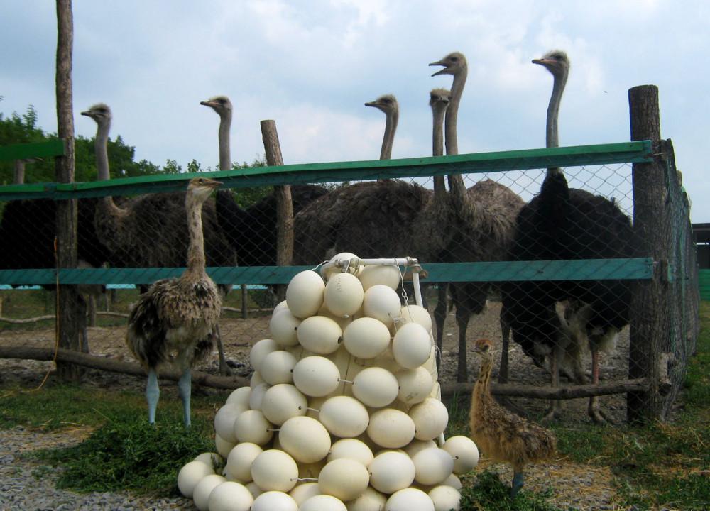 Фото: Страус-шоу со страусиным омлетом