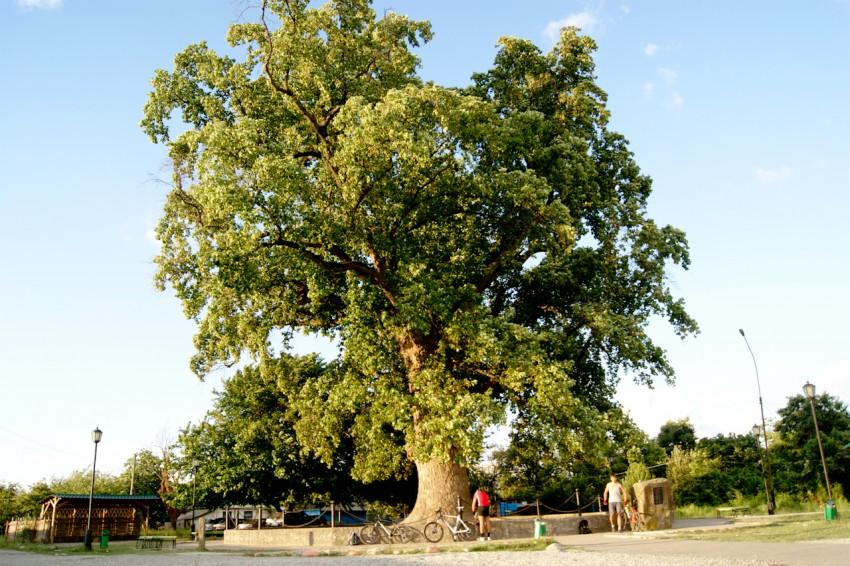 Фото: Тюльпановое дерево